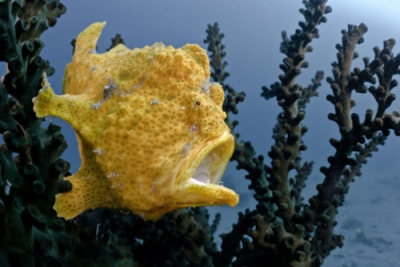 Commerson's frogfish, Giant angler