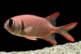 Shoulderbar soldierfish