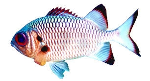 Shadowfin soldierfish