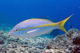 Yellowtail blues napper