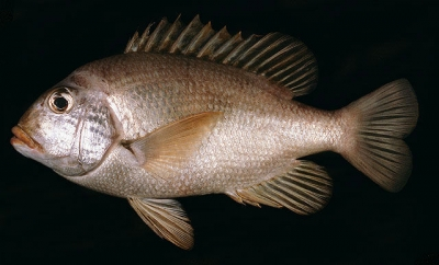 Mozambique large- eyebream