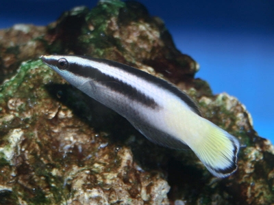 Bicolour cleaner wrasse