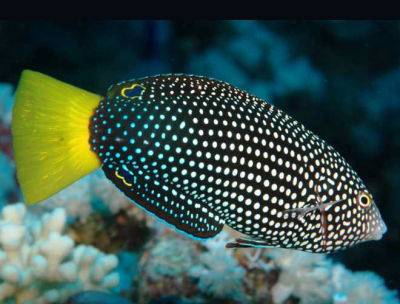Spotted wrasse Yellowtail